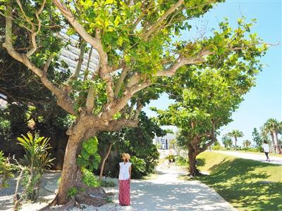 樹齢300年のフクギや琉球庭園など、敷地内にもみどころがたくさん