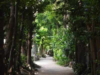 早起きした朝には澄み切った空気が漂うフクギ並木を散歩