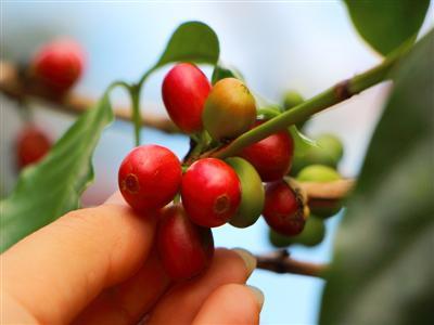 貴重な沖縄産コーヒー豆を収穫して自分だけの一杯を